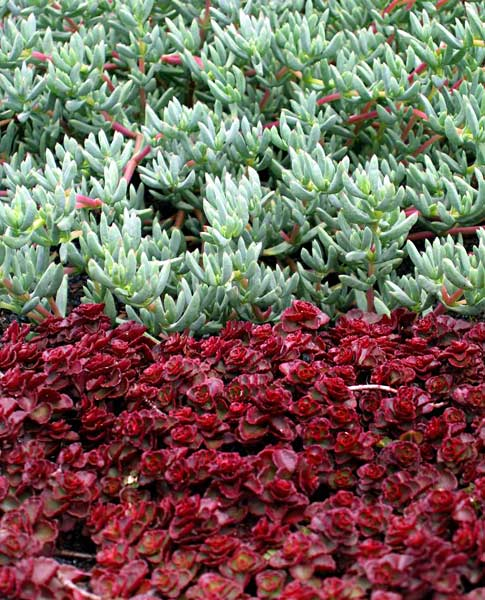 Lampranthus roseus & Sedum spurium 'Voodoo' (red)