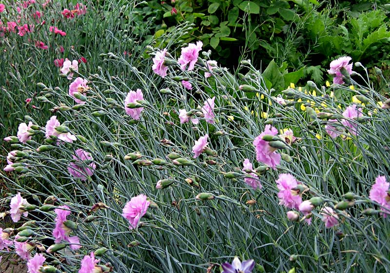 Old-Fashioned Pinks - Dianthus - Select Seeds 74