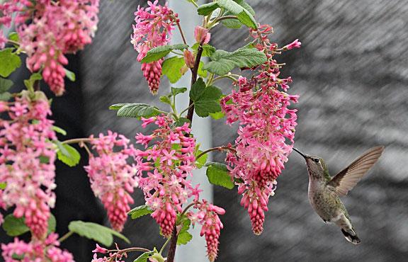 Annies annuals perennials hummingbird love mightylinksfo