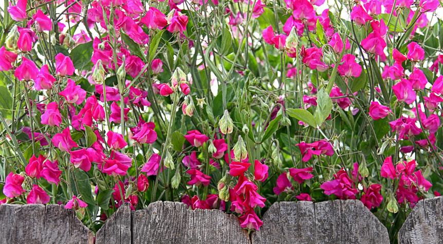 annie's annuals  perennials sweet peas make us weak in the knees, Natural flower