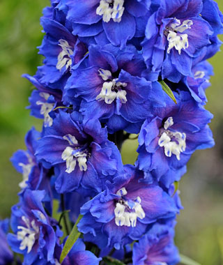 Delphinium 'Royal Aspirations'