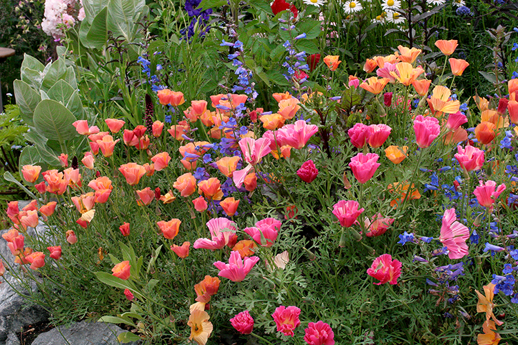 Annie's Annuals & Perennials: Effervescent & Easygoing Eschscholzias!