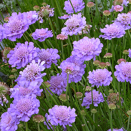 Annie 39 s annuals perennials good bugs vs bad bugs - Tough perennial bloomers drought insect and pest resistant flowers ...