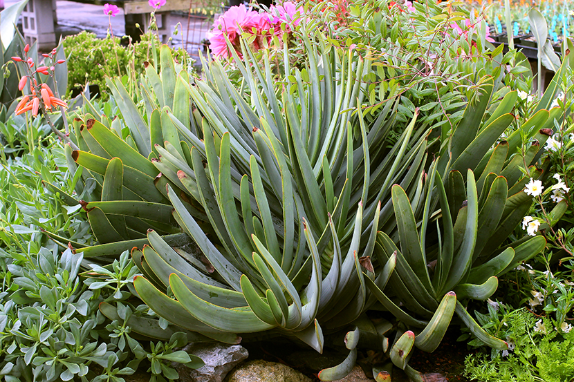 Aloe - It's Me!<br/>Small Crops of Specialty Aloes are Ready!