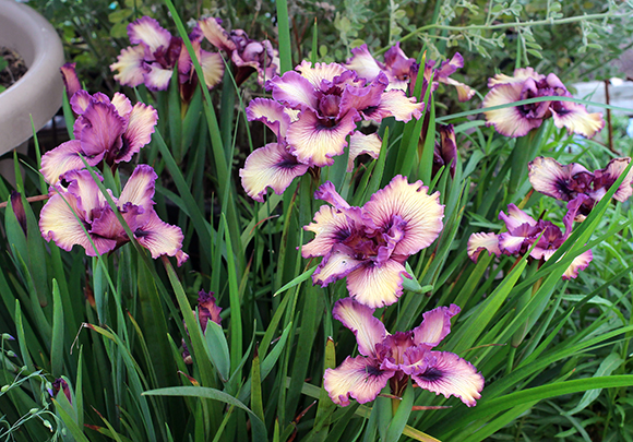 One and ONLY crops of Pacific Coast Irises are Ready!