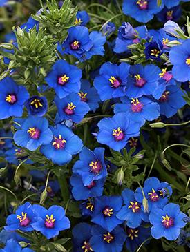 """Anagallis monellii  """"Blue Pimpernel"""""""