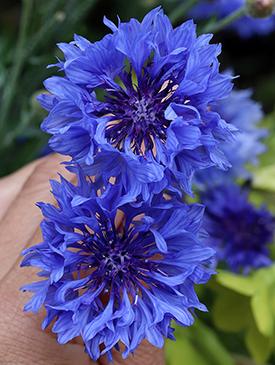 Centaurea cyanus  'Blue Diadem'