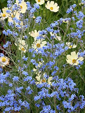 Cynoglossum amabile  'Blue Showers'