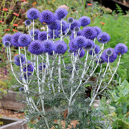 """Echinops ritro ruthenicus BeesLOVEthis Echinops! Unfazed by heat, happy as a clam in ordinary soil, this outrageously cool pollinator party plant is a simple and magnetic choice for the dry garden.EASY to grow with impressive, 3"""" blue """"golf balls"""" atop strong multi-branching white stems. Drought and deer resistant, hardy to USDA zone 3!"""