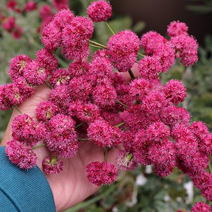 "Eriogonum grande var. rubescens  ""Red Buckwheat"""