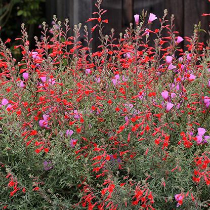 "Zauschneria californica ""California Fuchsia"""