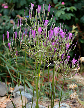 Brodiaea californica  'Babylon'