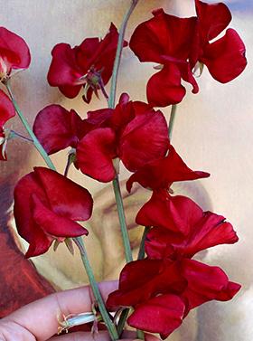 Lathyrus odoratus  'Solstice Crimson'