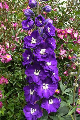Delphinium elatum  'Purple Passion'