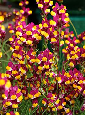 Linaria reticulata 'Flamenco'