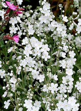 "Omphalodes linifolia  ""Venus' Navelwort"""